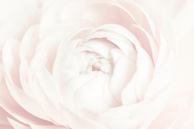 Fundo de flor de ranúnculo branco