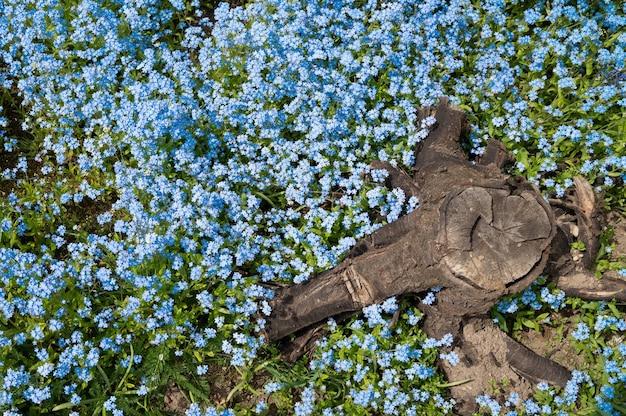 Fundo de flores azuis e toco, vista superior.