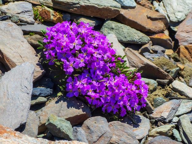 Fundo de flores da montanha roxa. planta bush aubrieta com pequena flor roxa crescendo em jardim de pedra