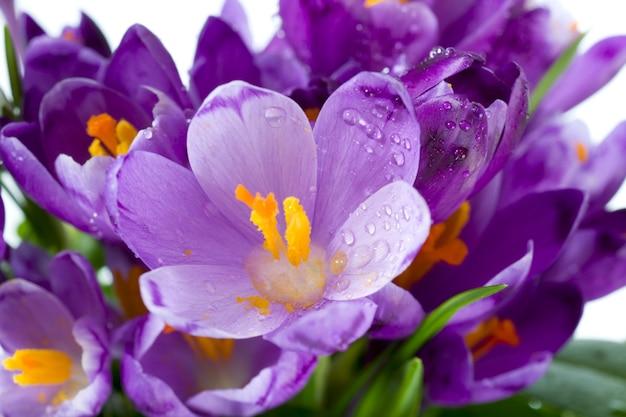 Fundo de flores de açafrão nas férias de primavera (macro)