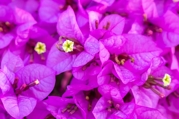 Fundo de flores de buganvílias florescendo.