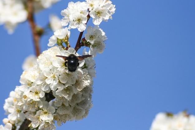 Fundo de flores de cerejeira e abelhas durante a primavera no vale do jerte