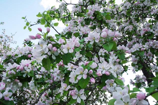 Fundo de flores de maçã da primavera