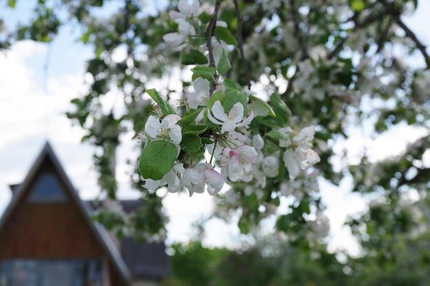Fundo de flores de maçã florescendo de primavera