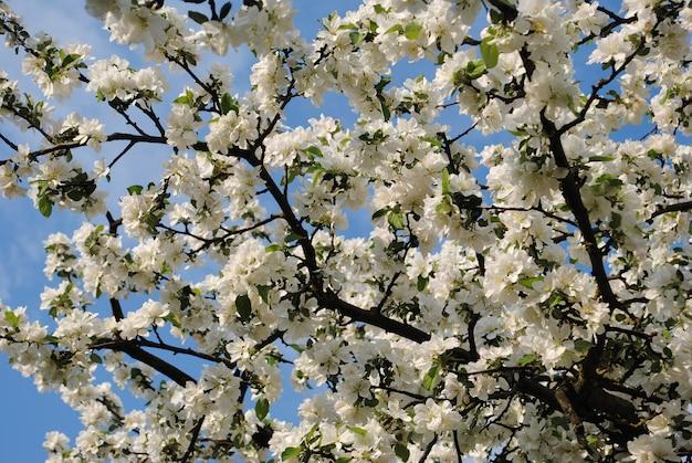 Fundo de flores de maçã