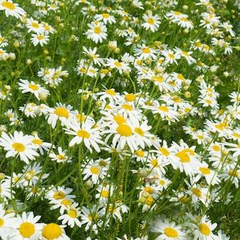 Fundo de flores de margarida
