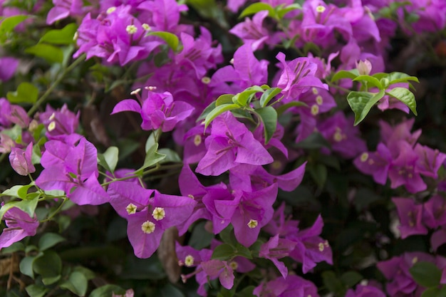 Fundo de flores desabrochando buganvílias
