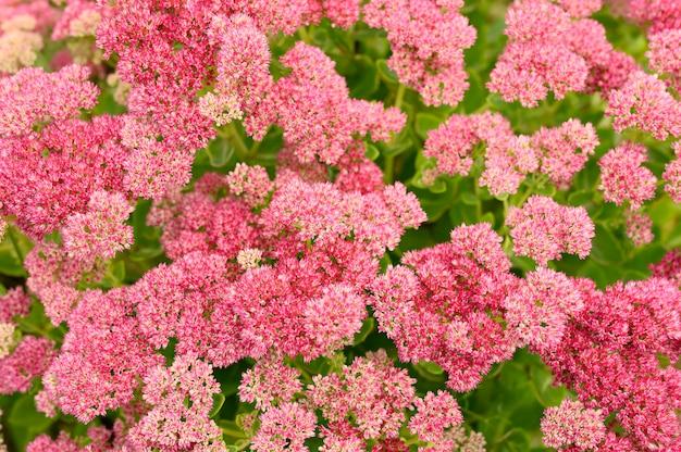Fundo de flores desabrochando rosa. sedum telephium