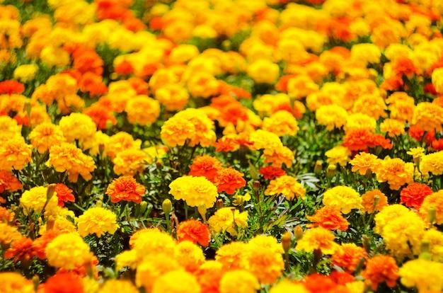 Fundo de flores do verão, prado de flores de calêndula vivas, foco seletivo, profundidade de campo