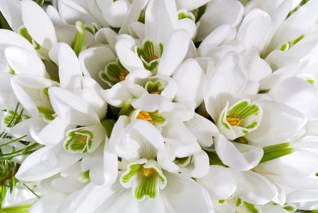 Fundo de flores em flor de neve de férias de primavera (foto macro composta com considerável profundidade de nitidez)