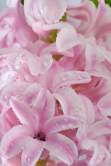 Fundo de flores rosa jacinto nas férias de primavera (macro)
