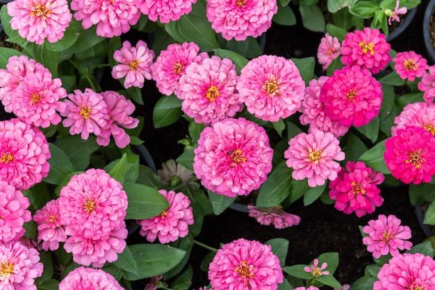 Fundo de flores zinnia rosa linda