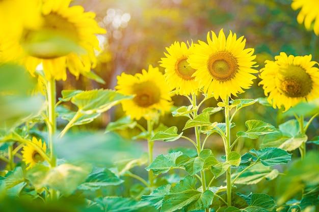 Fundo de florescência do campo de girassóis pôr do sol de verão na tailândia