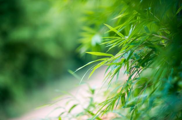 Fundo de floresta verde bambu natureza & sombra