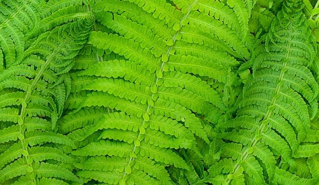 Fundo de folha de samambaia verde verão