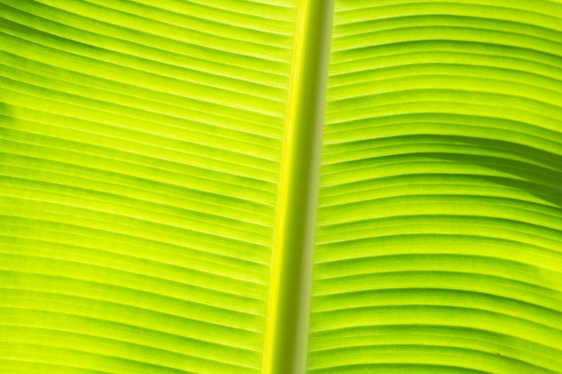 Fundo de folha verde de banana fresca.