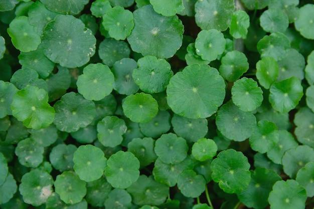 Fundo de folha verde indiano pennywort