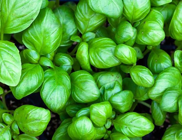 Fundo de folhas de manjericão de gênova. horticultura e cultivo, jardinagem primaveril.