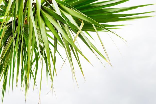 Fundo de folhas de palmeira