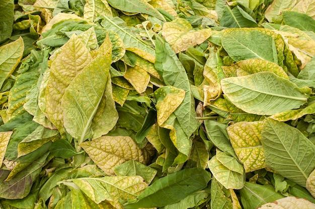 Fundo de folhas de tabaco seco