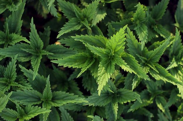 Fundo de folhas de urtiga verde suculenta