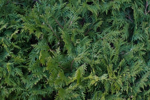 Fundo de folhas de zimbro