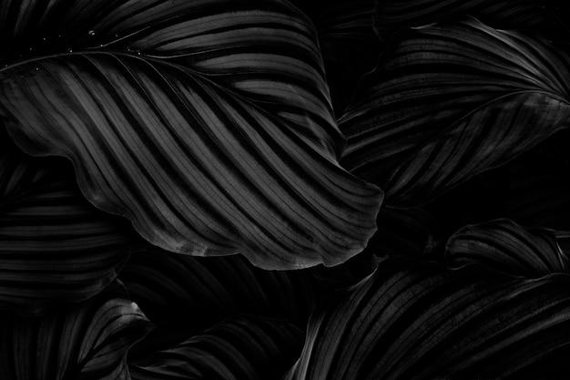 Fundo de folhas naturais de calathea orbifolia