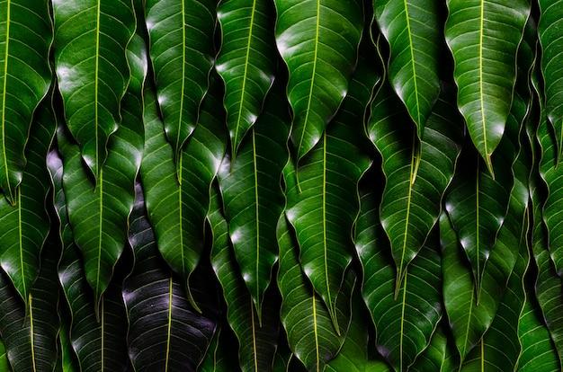 Fundo de folhas verdes de manga barracuda