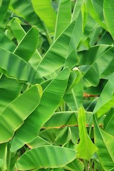 Fundo de folhas verdes frescas de bananeira