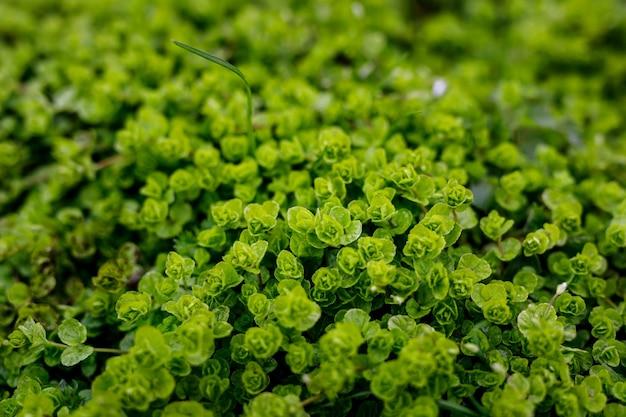 Fundo de folhas verdes. papel de parede de plantas naturais. foco seletivo.