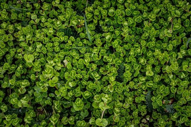 Fundo de folhas verdes. papel de parede de plantas naturais. vista do topo