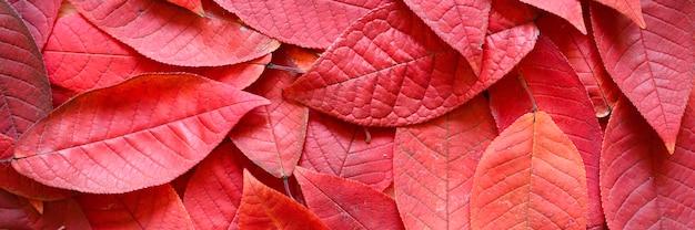 Fundo de folhas vermelhas de outono caídas de cereja.