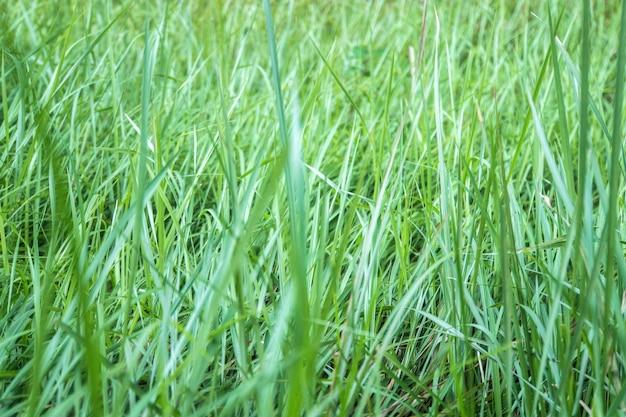 Fundo de gotas de orvalho na grama verde brilhante. hastes altas de grama verde. textura verde. gramado não cortado e organizado