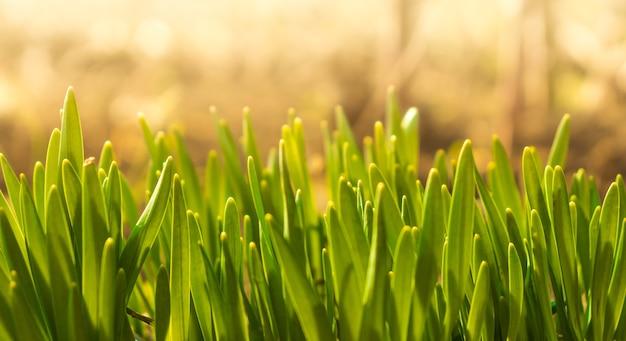 Fundo de gotas de orvalho na grama verde brilhante