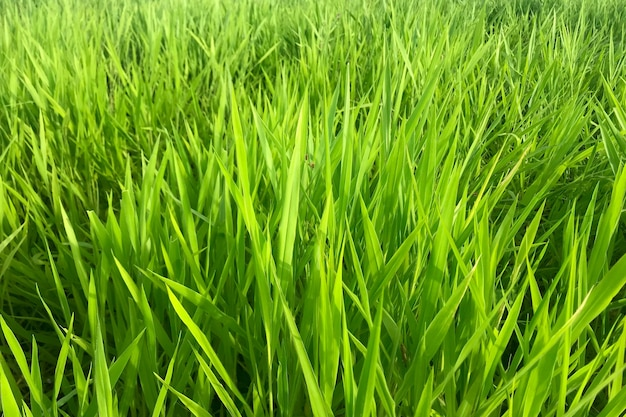 Fundo de grama ruzi, brachiaria ruziziensis