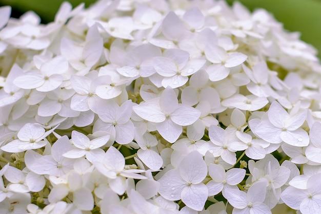 Fundo de hortênsias flores brancas
