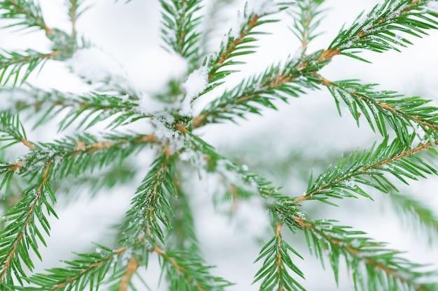Fundo de inverno de abeto na neve