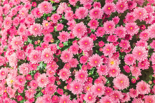 Fundo de jardim de flor rosa