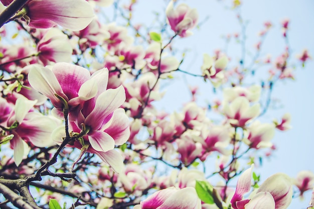 Fundo de magnólias florescendo. flores. foco seletivo.