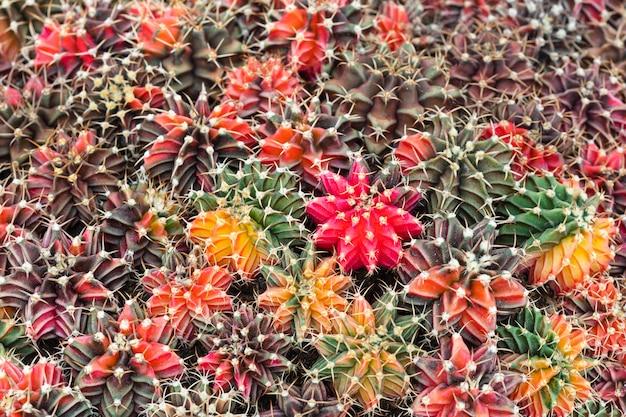 Fundo de muitas plantas de cacto gymnocalycium colorido bonito.