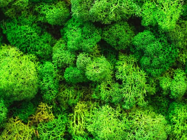 Fundo de musgo verde natural macro textura base em branco