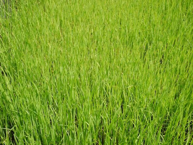 Fundo de natureza de campo de arroz orgânico