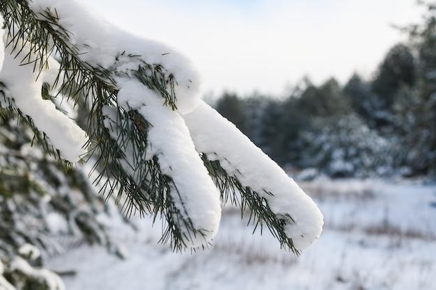 Fundo de natureza de floresta de inverno com galhos de pinheiros verdes com agulhas cobertas por neve forte ao sol