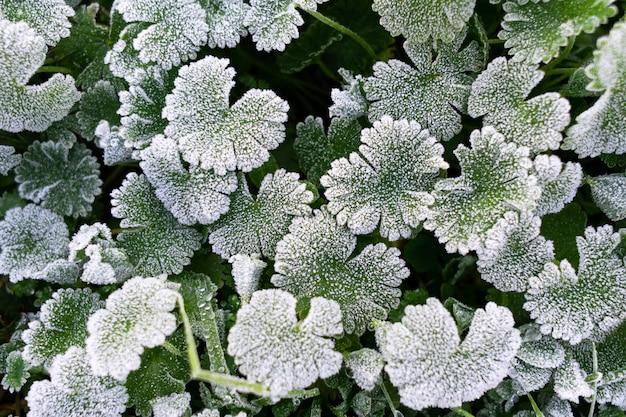 Fundo de natureza inverno. folhas verdes cobertas com geada branca e formação de cristais de gelo