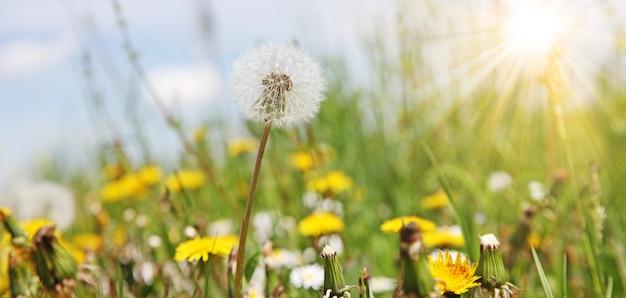 Fundo de natureza linda e sonhadora de primavera com dente de leão