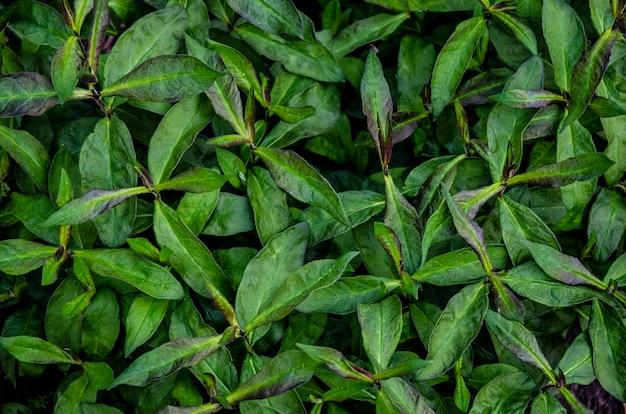 Fundo de natureza linda. folhas verdes do jardim da sibéria