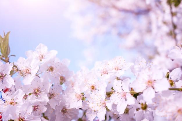 Fundo de natureza primavera com flor de cerejeira