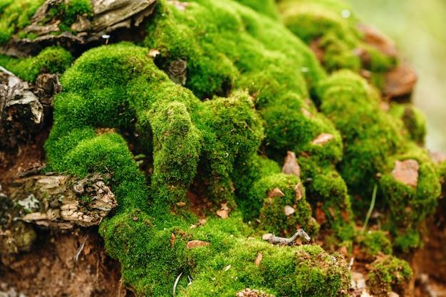 Fundo de natureza. vista ascendente próxima do musgo.