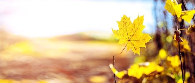 Fundo de outono com folha de bordo amarela em fundo desfocado em tempo ensolarado, panorama, cópia espaço