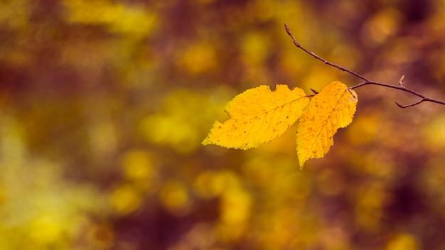 Fundo de outono com folhas amarelas em um galho em um fundo desfocado em cores quentes de outono, copie o espaço
